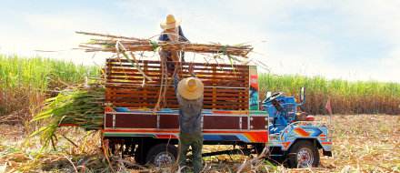 farmers harvesting sugar cane