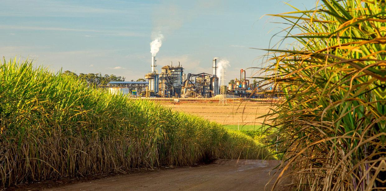 sugar cane and sugar cane factory